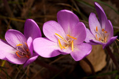 Autumn Crocus(Colchicum autumnale) closeup Royalty Free Stock Photography