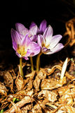 Autumn crocus  or Colchicum autumnale Royalty Free Stock Image