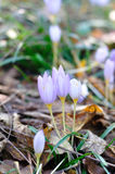 Autumn crocus - Colchicum autumnale Royalty Free Stock Photos