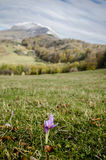 Autumn crocus on a hill (Colchicum autumnale). Autumn crocus  on a meadow, in the idylic scenery of Holbav village, Romania Royalty Free Stock Image
