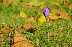 Autumn crocus purple Royalty Free Stock Images