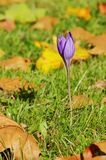 Autumn crocus purple Stock Photography