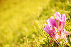 Autumn crocuses Royalty Free Stock Photography