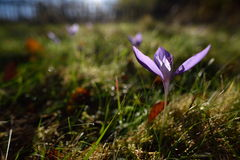 Autumn crocuses on mountain pasture Royalty Free Stock Image