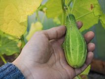 Greenhouse cultivation of cucumbers. Hand holding small growing cucumber. Cucumber in the hand. The autumn crop of cucumbers in the greenhouse Royalty Free Stock Photos