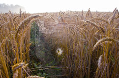 Autumn crop fields with morning dewy spider-web Stock Photography