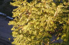 Autumn crown of ailanthus tree, top view Royalty Free Stock Photography