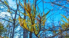 autumn cypress leaf royalty free stock photos