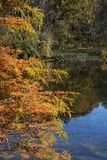 Autumn cypress tree Stock Images