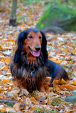 Autumn dachshund dog Royalty Free Stock Photography