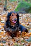 Autumn dachshund dog Royalty Free Stock Photography
