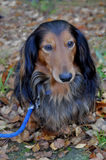 Autumn dachshund dog Royalty Free Stock Images