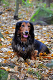 Autumn dachshund dog Royalty Free Stock Image