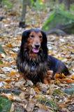 Autumn dachshund dog Royalty Free Stock Image