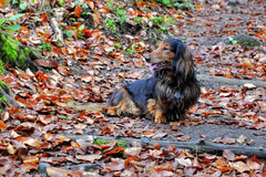 Autumn dachshund dog Stock Photo