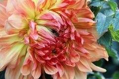 Autumn Dahlia berlock Royaltyfria Bilder