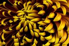 Autumn dahlia flower Stock Photography