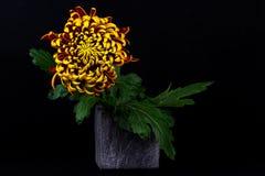 Autumn dahlia flower Stock Photos