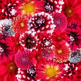 Autumn, Dahlias, Flowers, Blossom Stock Photography