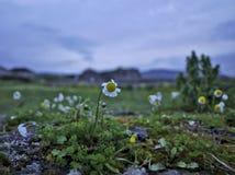 Autumn Daisies Fotos de Stock Royalty Free
