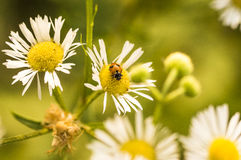 Autumn daisies. A photo of some daisies, with a ladybug, in autumn time Stock Images