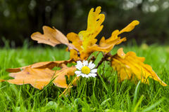 Autumn Daisy Fotografía de archivo libre de regalías