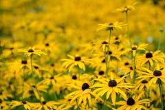 Autumn Daisy Flowers amarelo Foto de Stock