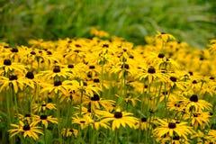 Autumn Daisy Flowers amarelo Foto de Stock Royalty Free