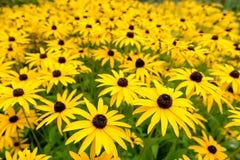Autumn Daisy Flowers amarelo Imagem de Stock