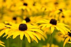 Autumn Daisy Flowers amarelo Fotos de Stock Royalty Free