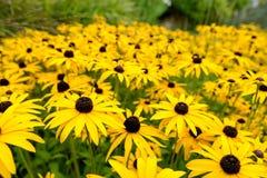 Autumn Daisy Flowers amarelo Imagens de Stock
