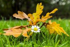 Autumn Daisy Royalty Free Stock Photography