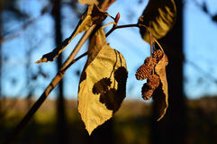 Autumn dance. Twig of alder. royalty free stock photos