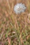 Autumn Dandelion Gone da seminare immagini stock libere da diritti