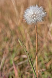 Autumn Dandelion Gone to Seed. Close up of a dandelion gone to seed in autumn Royalty Free Stock Images