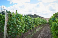 Autumn in the Danish wineyards royalty free stock image
