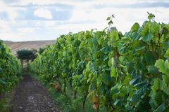 Autumn in the Danish wineyards stock images