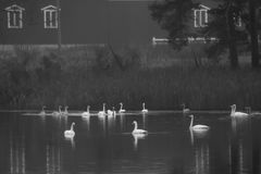 Autumn dark calm landscape on a foggy river with a white swans and trees reflection in water. Finland, river Kymijoki. WB photo royalty free stock images