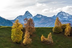 Autumn in Davos Grisons Switzerland, yellow coloured trees stock images