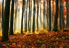 Autumn dawn in beech forest. Royalty Free Stock Images