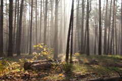 Autumn dawn in forest. Morning sun beams or rays in autumn park or forest Stock Photos