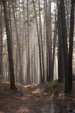 Autumn dawn in forest. Morning sun beams or rays in autumn park or forest Stock Photography