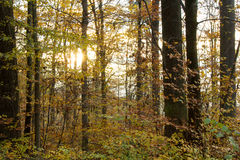 Autumn dawn in the forest Royalty Free Stock Photography