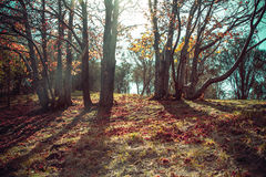 Autumn dawn in old beech forest Italian Royalty Free Stock Images