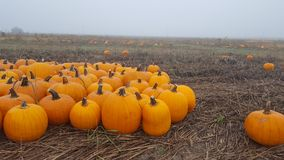 Autumn day in the Pumpkin Patch. Cold foggy day in the pumpkin patch Stock Photos