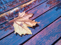 Autumn daydream. The texture of the wooden benches and the yellow leaves of autumn Royalty Free Stock Images