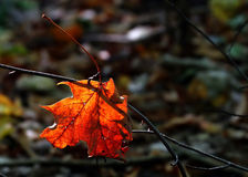 Autumn dead leaf Royalty Free Stock Photography