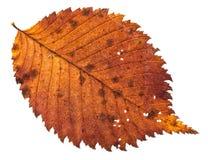 Autumn decayed holey leaf of elm tree isolated. On white background stock photo