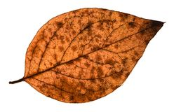 Autumn decayed leaf of poplar tree isolated. On white background Stock Photos