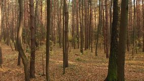 Autumn deciduous forest on clear day stock video footage